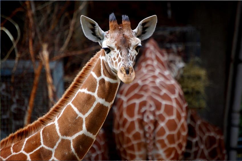 Ausflüge | Giraffen im Kölner Zoo