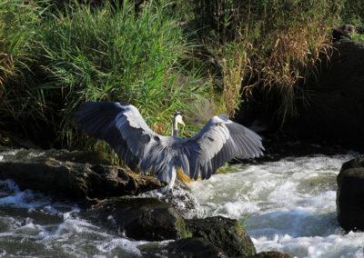 Graureiher | Kanu